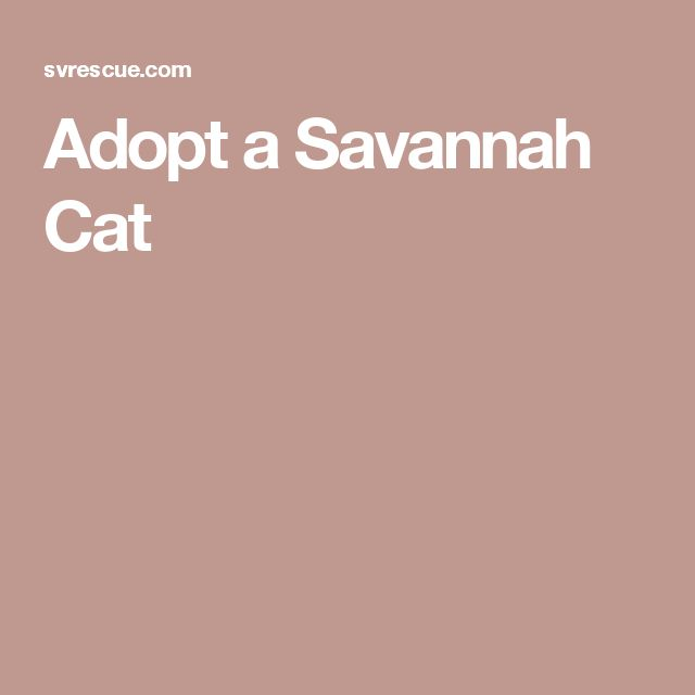 Adopt a Savannah Cat