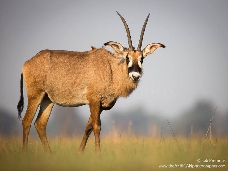 Roan Antelope > Kafue National Park in Zambia by Isak Pretorius Wildlife Photography