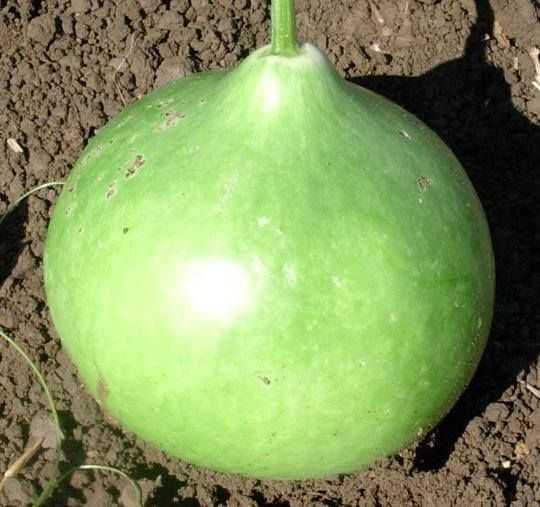 """Germ 7-10 days (Lagenaria siceraria) Native Americans used the vessels created by this gourd when dried, as storage containers. The flattened bowl can grow to 20"""" across. You will certainly find some"""