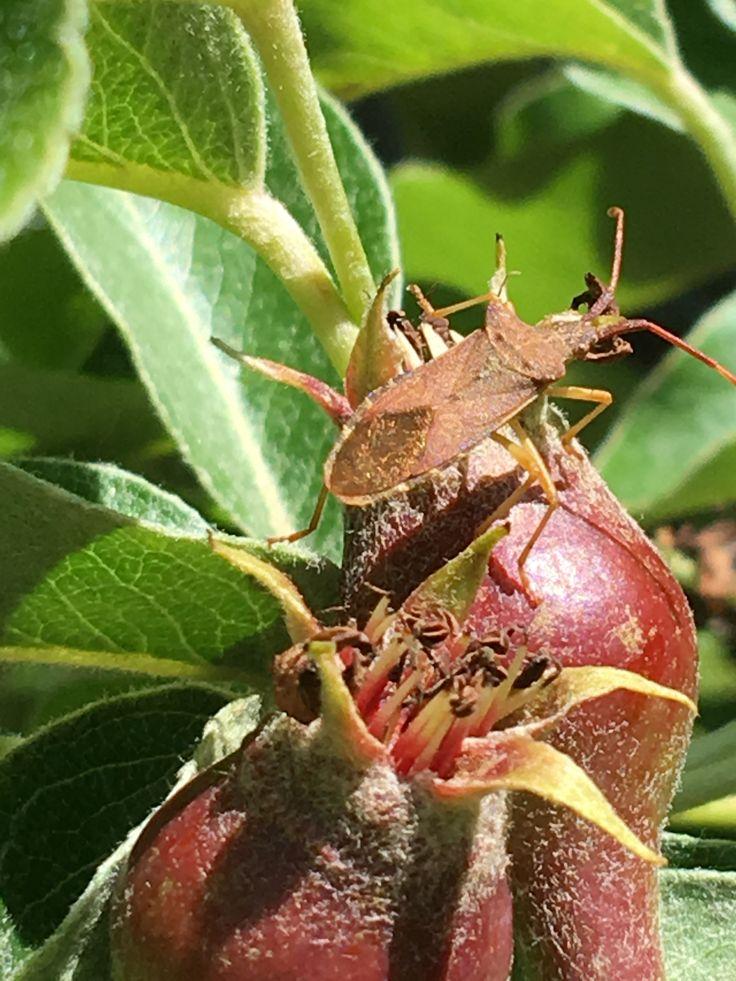 Foto:Arjen.13-5-2019.Bennekom.Fotonummer3381.Insekt:Wants is mogelijk.OpPyrus'…