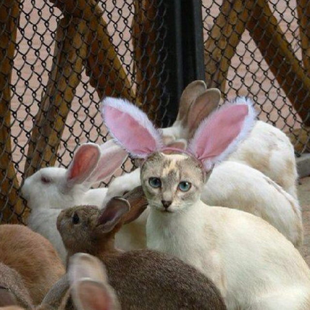 17 Best Images About Cats In Bunny Ears On Pinterest