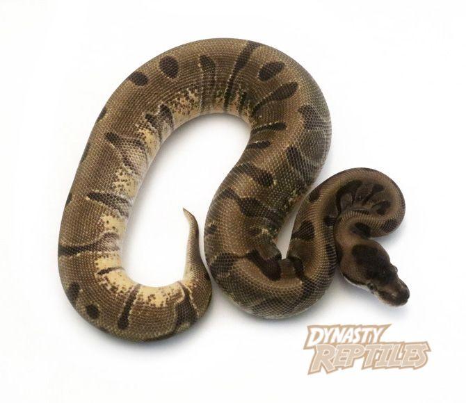 How to sex ball python