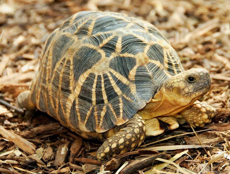 Star Tortoise (Geochelone elegans) - found in scrub forest and dry areas of India & Sri Lanka.