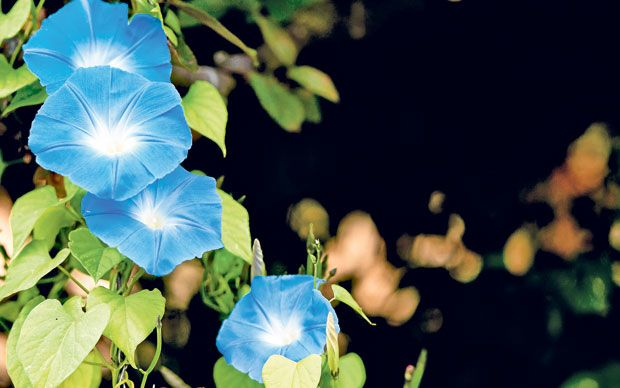 Helen Yemm answers your gardening questions. This week: the fussiness   of Ipomoea 'Heavenly Blue' flowers and problems with phlox.
