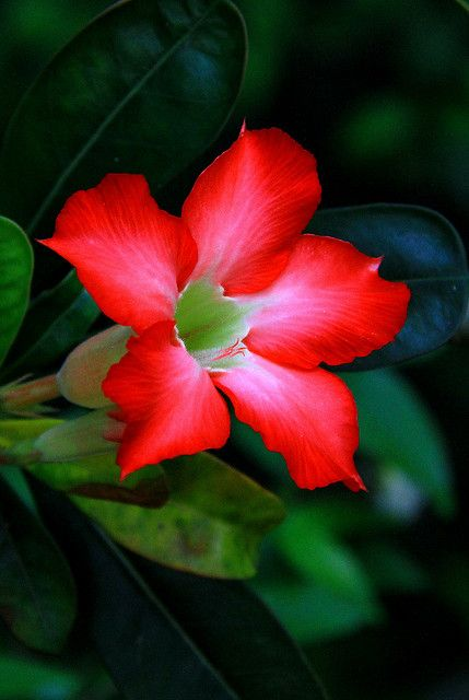 Adenium or desert rose is a species of succulent from the dogbane family and is related to mandevilla and the oleander.