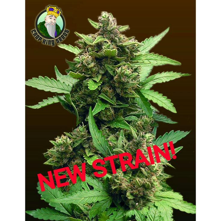 Cool Our newest addition to our strain collection CBD AUTO CHEESE https