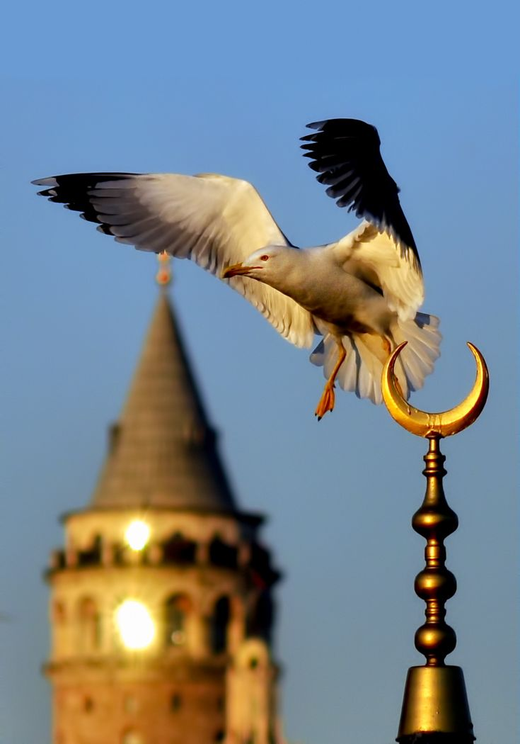 seagull-Galata Tower(Istanbul) **by Yaşar Koç on 500px /MAVİYDİ MARTILARIN İSTANBUL'U/ İSTANBUL'UN MARTILARI AKÇA/ FON SİYAH,SAF/ KALEMİMDE YILDIZLAR/ PARILDAK/ MARTILAR KAPTI KALEMİMİ/ UÇURDULAR SEMAYA/ ŞİMDİ YAŞAM/ MAVİSEL GAMDAN DAĞILMAKTA/ VE EFLATUNA/ VE MORA ÇALMAKTA GÜNEŞ (ENGNYD Lyrics) -