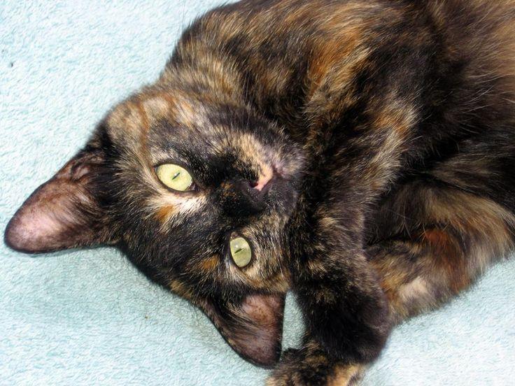 Tortoiseshell cat :)