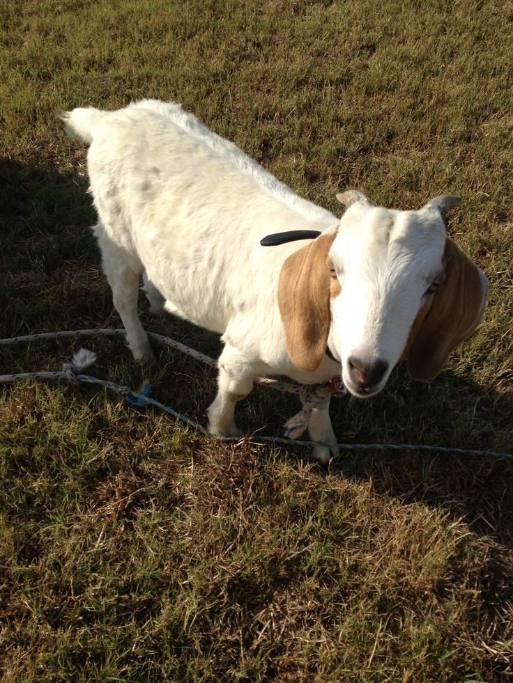 Travis the goat