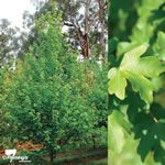 A tough, adaptable tree, Elsrijk will grow to about 7 x 6m and is ideal for smaller gardens.