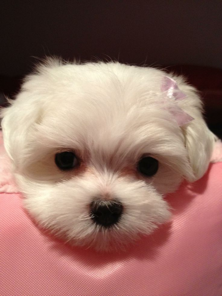 Puppy face, Snowball
