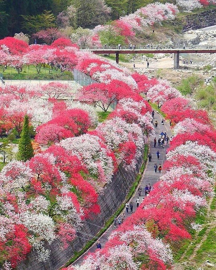 Hanamomo peach blossoms in Tsukikawa Spa, Nagano, Japan, flower, spring