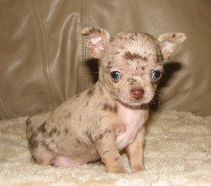 chihuahua kills baby 112 best lineals chihuahuas images on pinterest 6527