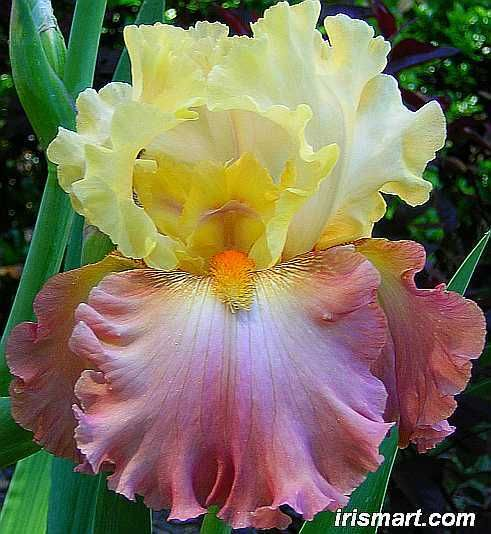 HIGH CHAPARRAL TALL BEARDED IRIS - bearded iris for sale