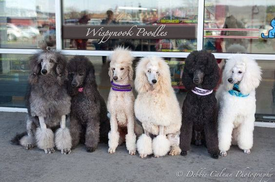 Standard Poodles silver blue apricot cream blue white they are all beautiful dont you agree???