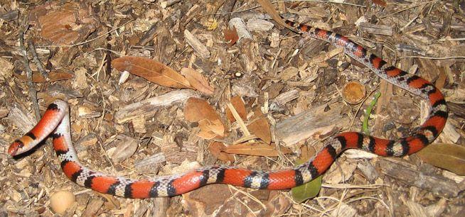 Florida Scarlet Snake Information & Facts