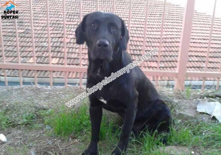 İzmir'de erkek Labrador ücretsiz olarak sahiplendirilecektir.... http://www.kopekdunyasi.com/siyah-labrador-ucretsiz-izmir.html