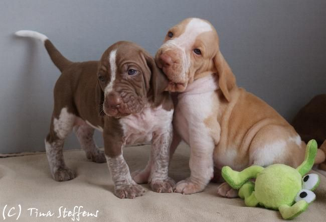 Two Cute Bracco Italiano Puppies Playing