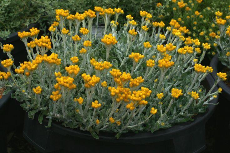 Chrysocephalum apiculatum 'Silver Sunburst' – Everlasting Daisy