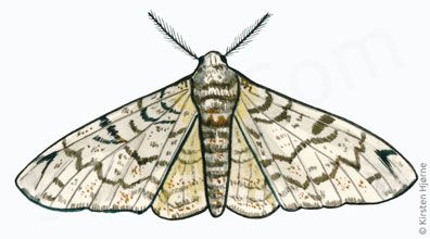 Birkemåler - Biston betularia - Peppered Moth
