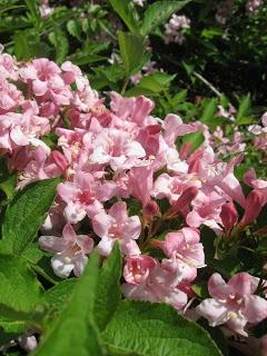 Best 131 Flowers Weigelas Images On Pinterest Gardening