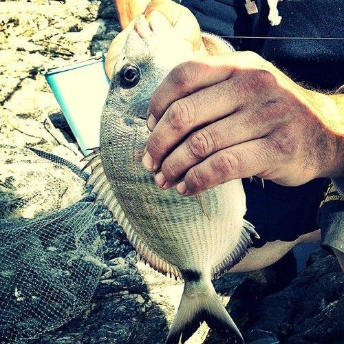 Sarago maggiore #pesca #mare #fishing #sea #elba #portoazzurro #bolo http://ift.tt/1lOYpbD