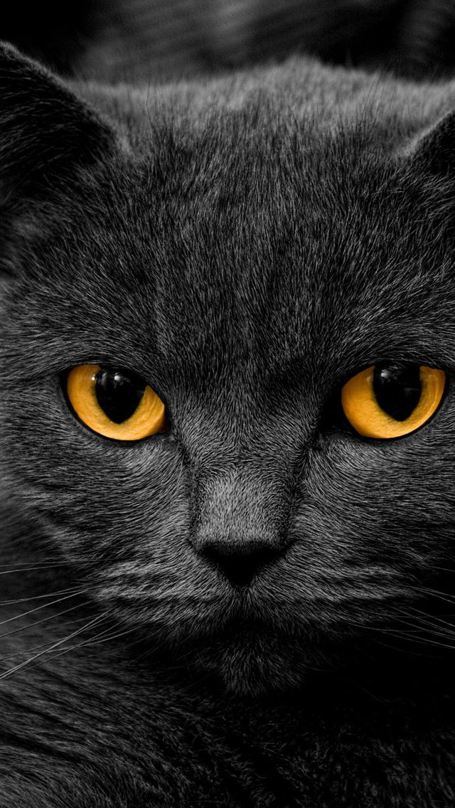 Dark-British-Cat.jpg 640×1,136 pixels