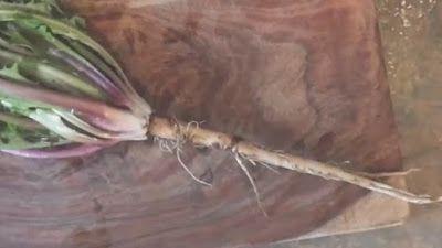Tego korzenia używa się w celach zdrowotnych już od czasów starożytnych. To roślina ceniona za wiele właściwości zdrowotnych, ale jej poten...