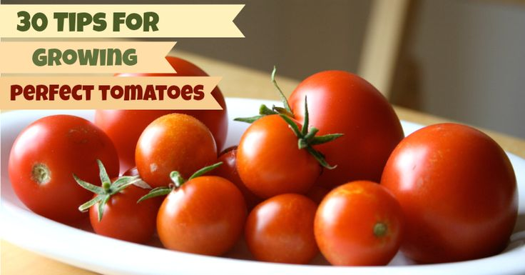 How to Grow Perfect Tomatoes