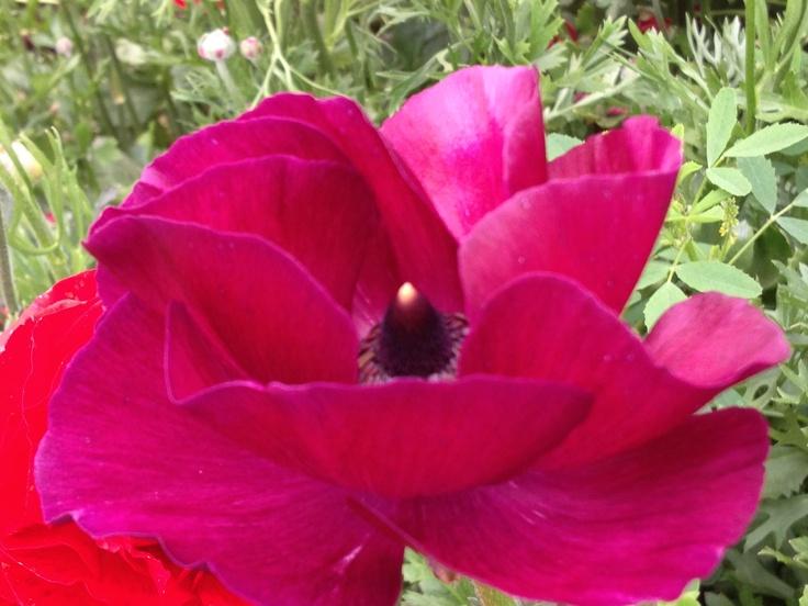 Purple Flower Fields' close-up