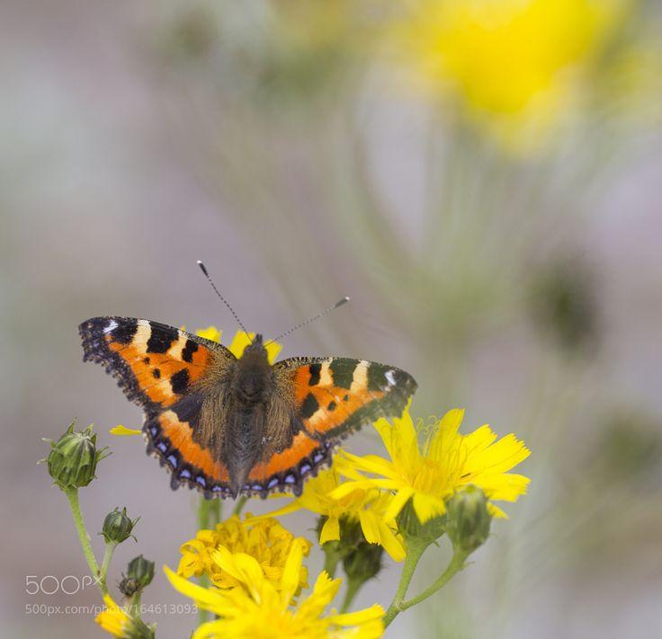 Nymphalis urticae by oisandbufoto #nature #photooftheday #amazing #picoftheday