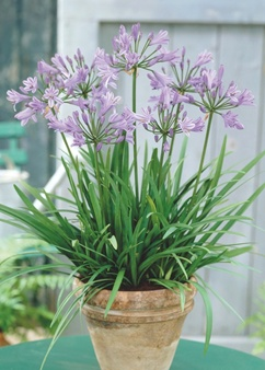 Agapanthus 'Peter Pan' aka as Lily of the Nile
