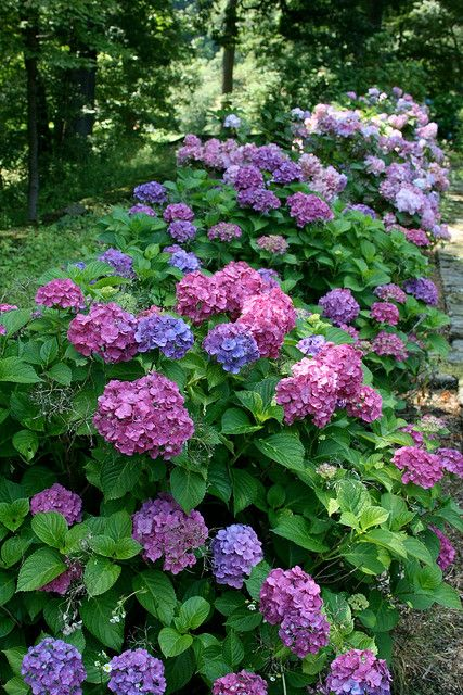 Bushes that tolerate the salty sea:  Big Leaf Hydrangea - (Hydrangea macrofolia) is hardy in Zones 3b to 9 and 14 through 24. This shrub grows from 2 to 8 feet tall and produces showy clusters of blooms ranging from pink to blue, depending on soil pH. They grow well in partial shade and prefer well-drained soil.