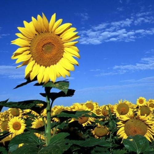 girando a procurar seu sol/na imensidão do céu azul/banhando-se em gotas de orvalho/como quem banha o corpo nu/ em busca de um pouco de carinho/sol, cuidado e amor/grande flor amarela, singela/florindo em seu jardim/para saudar a primavera…/flor menina em busca de vida/alegre e colorida/ flor mulher desabrochando para a vida, descobrindo quem é…/força e beleza: girassol/no jardim da vida é uma flor de Deus/colorindo o paraíso e todos os amores seus!