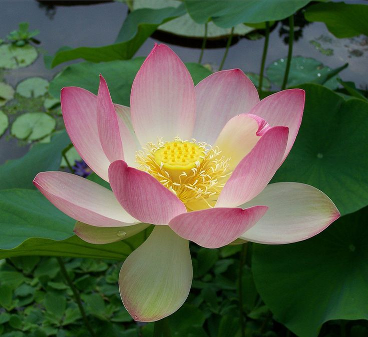 Sacred Lotus - National Flower of India by T. Voekler.