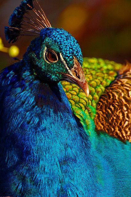 Peacock, Mayfield Park, Austin, Texas    Flickr - Photo Sharing!