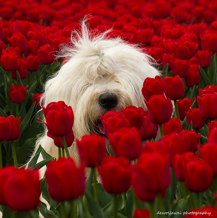 Cees Bol's English sheepdog in field of tulips ~ Sibculo, Netherlands • dewollewei photography: