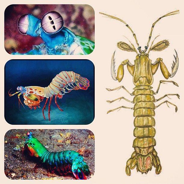 Mantis Shrimp (Креветка-богомол, Stomatopoda) | Flickr