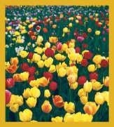 Tulips #00212