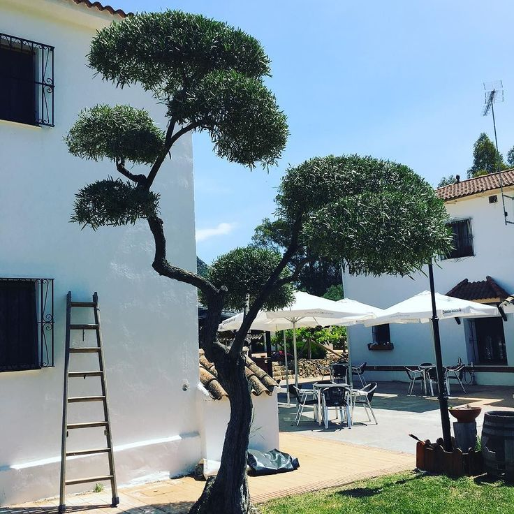 Best 25 pruning olive trees ideas on pinterest for Pruning olive trees in pots