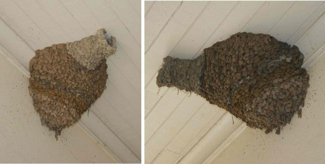 Our pair of swallows has finished building their nest. It looks really neat! But now they have seemed to disappear! For the last few days I haven't ...