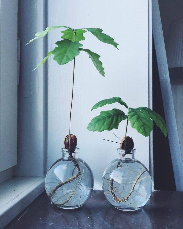 Att odla en ek