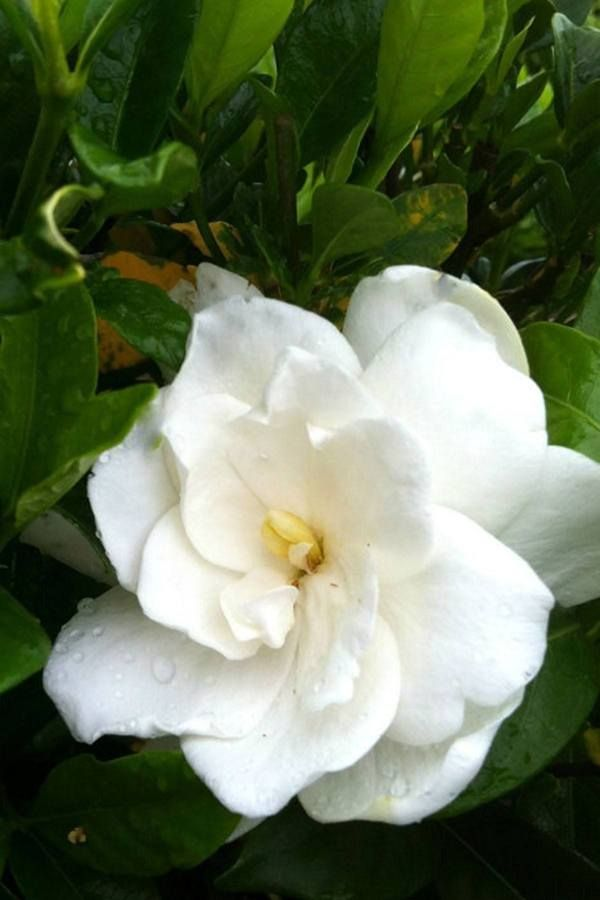August Beauty Gardenia August Beauty Gardenia Flower Hedge Gardenia