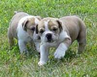Olde English Bulldogge (Old English Bulldog, Leavitt bulldogs).