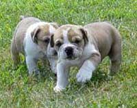 Olde English Bulldogge (Old English Bulldog, Leavitt bulldogs).