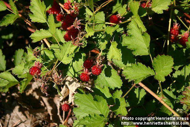 Native Rasberry - Rubus parvifolius