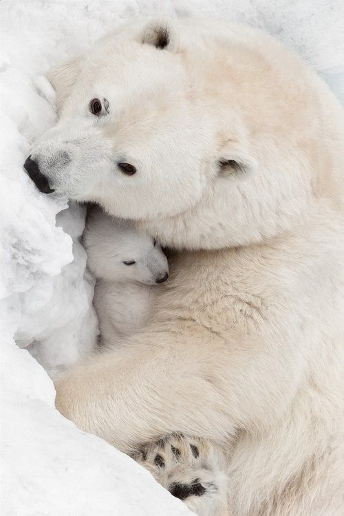 Baby bear and cuddles + baby animals + polar bears