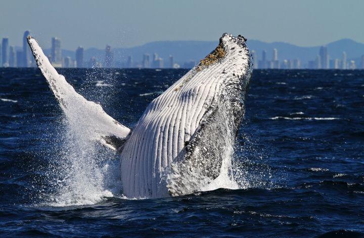 Coolangatta Whale Watching, Gold Coast, Queensland, Australia