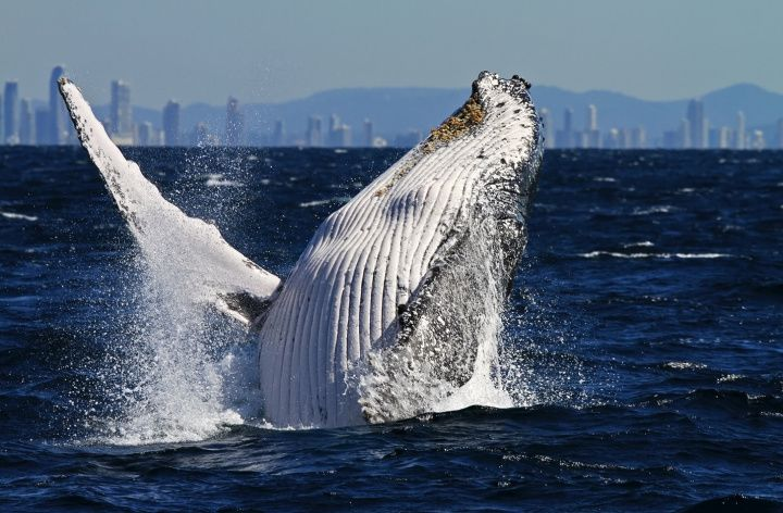 Coolangatta Whale Watching, Gold Coast, Queensland, Australia