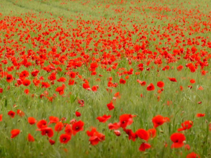 Poppies in field near cemetery in Chambon, Indre-et-Loire